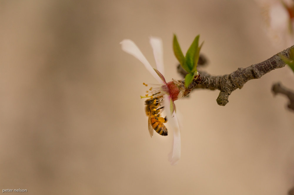 Bee_Almond_GI7A2666.jpg