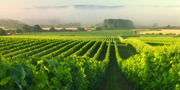 English vineyards in Sussex South of England