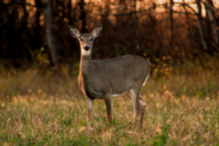 white-tail-deer-autumn-3313725.jpg