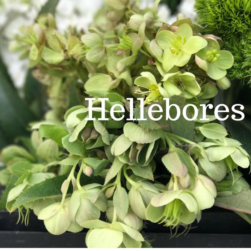 Hellebores