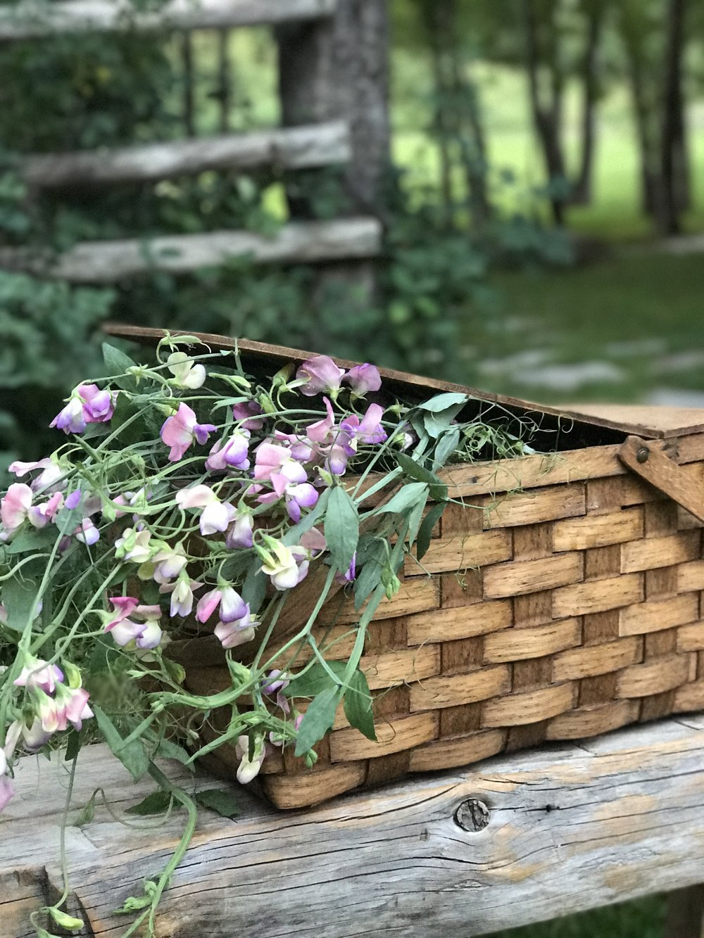 Sweet peas in a picnic basket