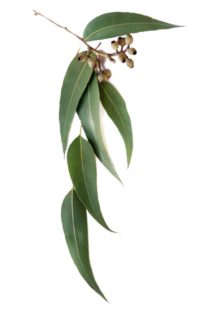 Eucalyptus.png