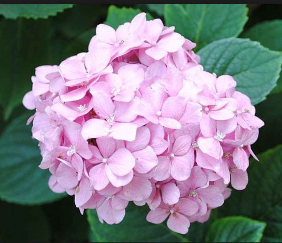 Pink-Hydrangea.png