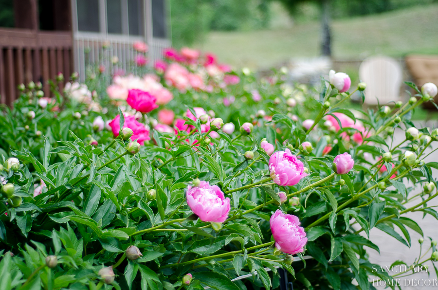 Peony-Garden-Varities-Peonies.jpg