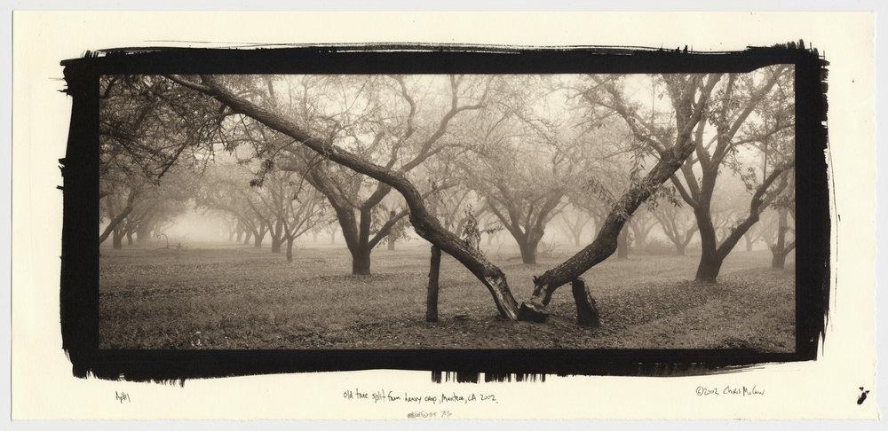old tree 2002.jpg