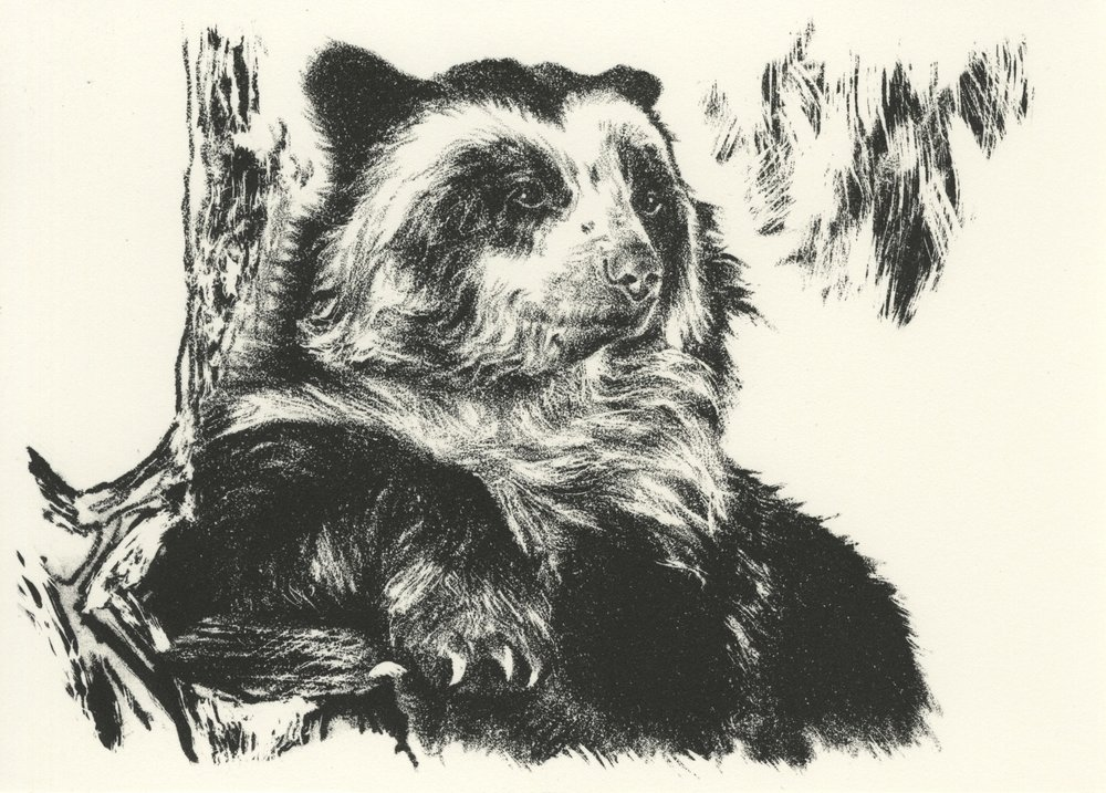 Spectacled Bear001.jpg