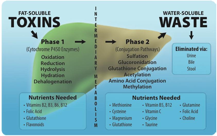 Phase-l-and-ll-Liver-Detoxification.jpg
