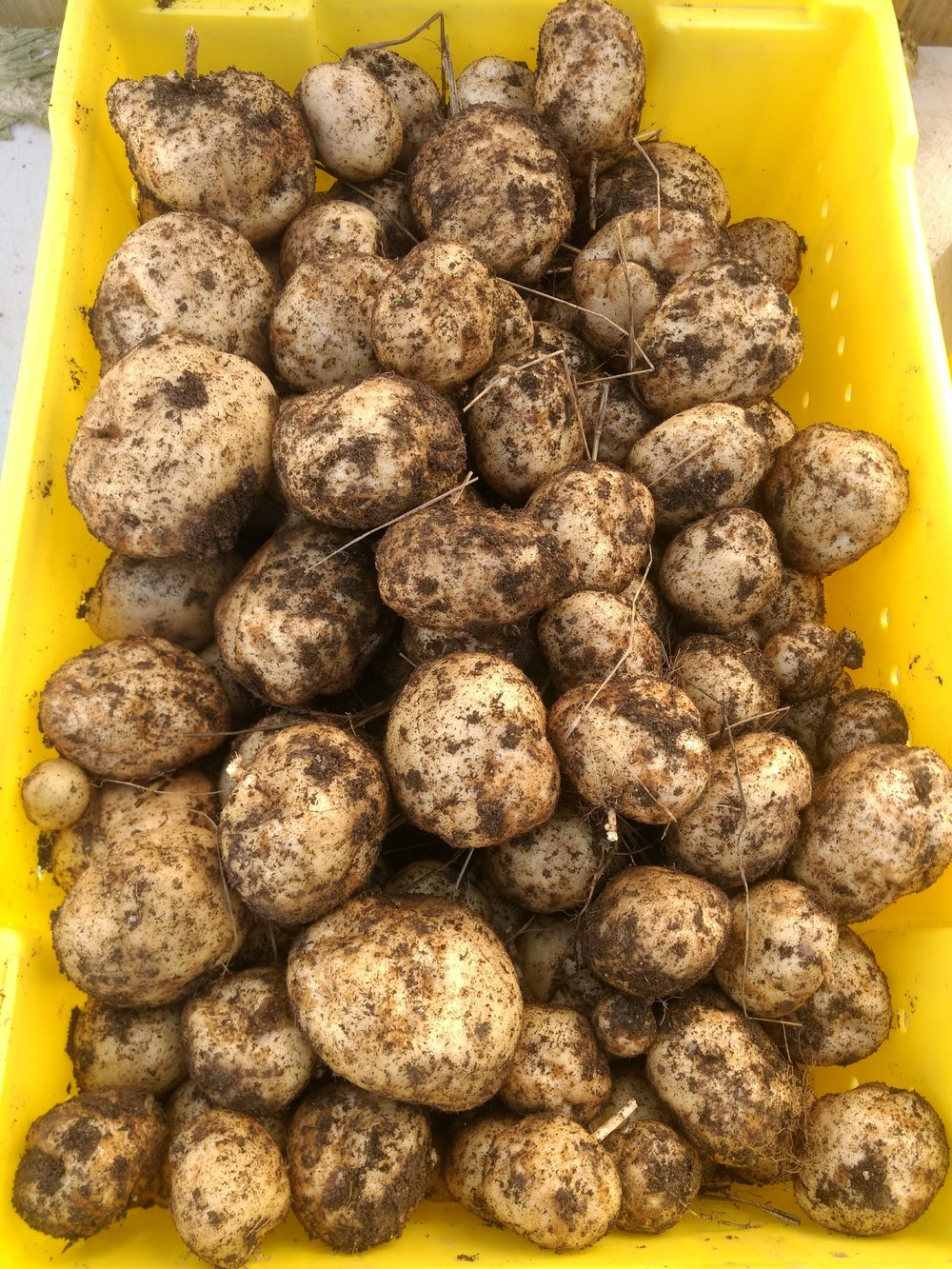 Pick up your quart of white potatoes grown in rich Lancaster County soil at any of our two weekly markets: Clark Park Farmers Market (Thurs. 3pm-7pm) and Overbrook Farmers Market (Sat. 9am-1pm).