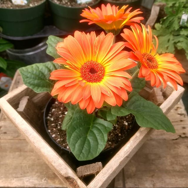These brilliant Gerbera Daisies are a beautiful reminder that spring is not far away!  Plan your trip to Homestead Gardens this spring. We're open Monday-Friday, 8-8, and Saturday, 8-5!