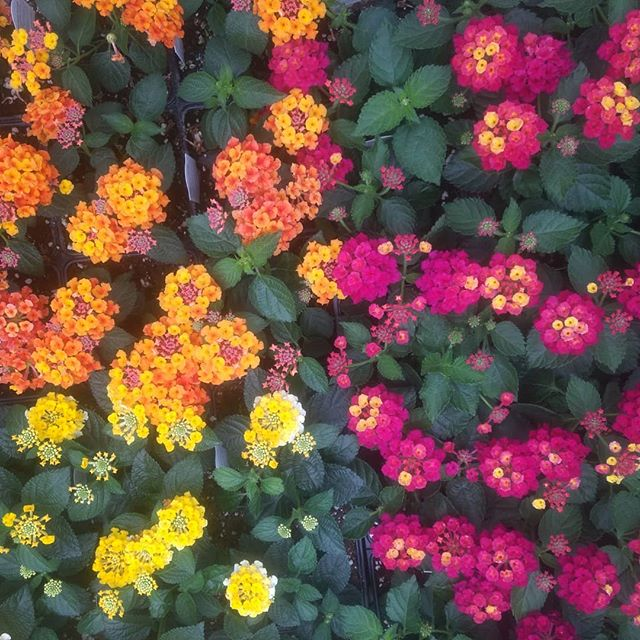 Bandana Lantana are in full bloom!  Brighten up your flower bed or planter with this beautiful mounding plant!