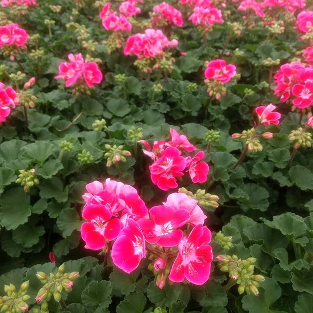Geraniums are almost in full bloom!