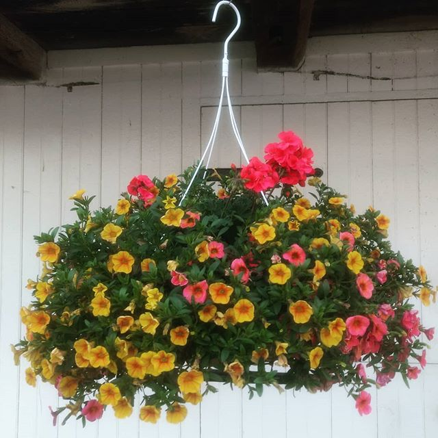 We still have a huge variety of beautiful hanging baskets for sale!  Stop by any time this week to browse our selection. We're open Monday through Friday, 8-8, and Saturday, 8-5.