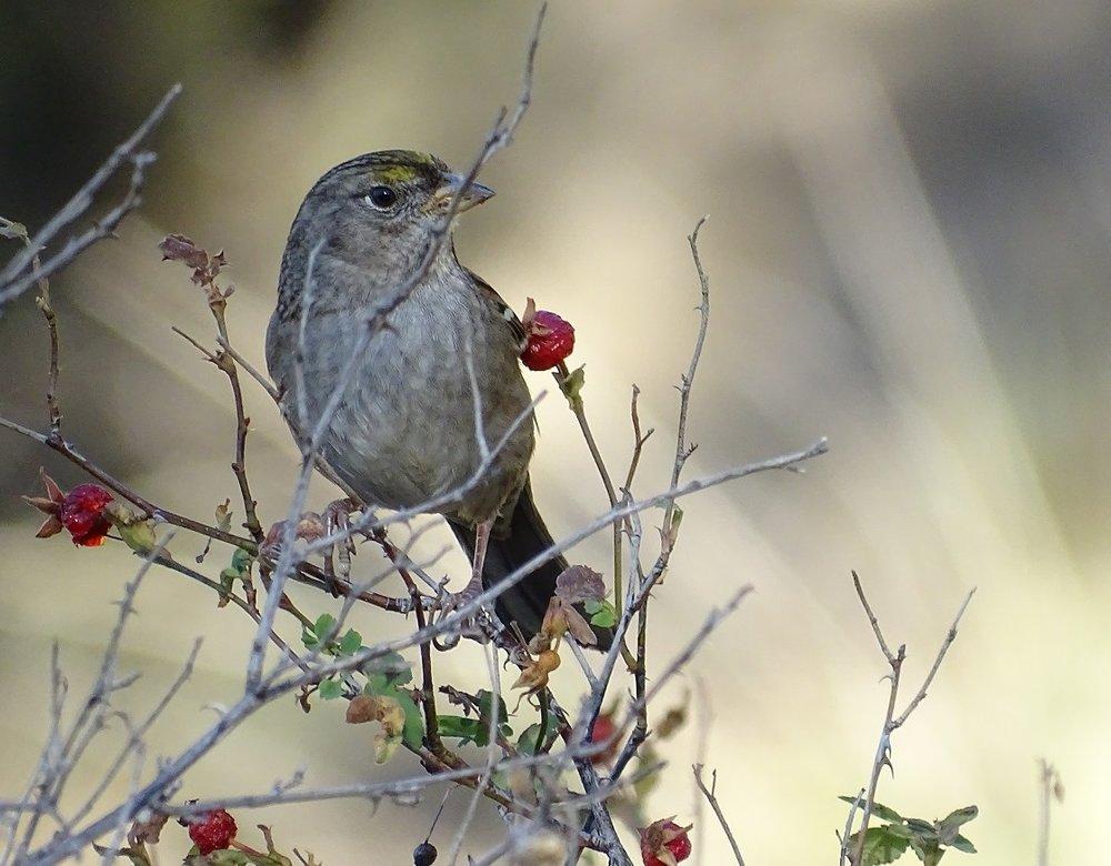 Golden-crowned Sparrow.JPG