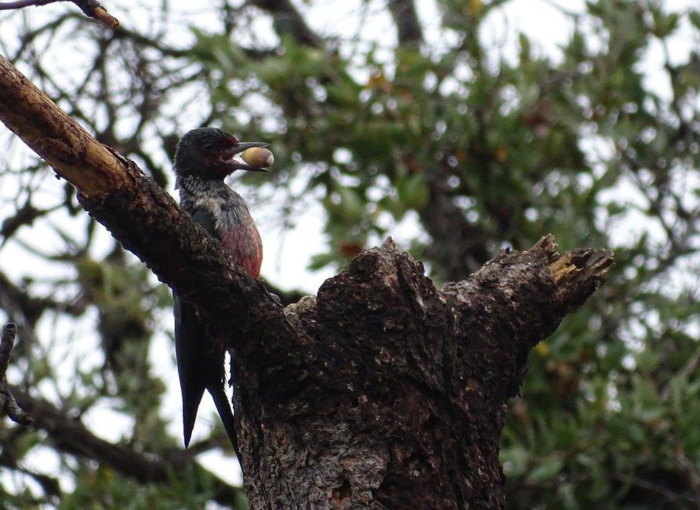 Lewis's Woodpecker.JPG
