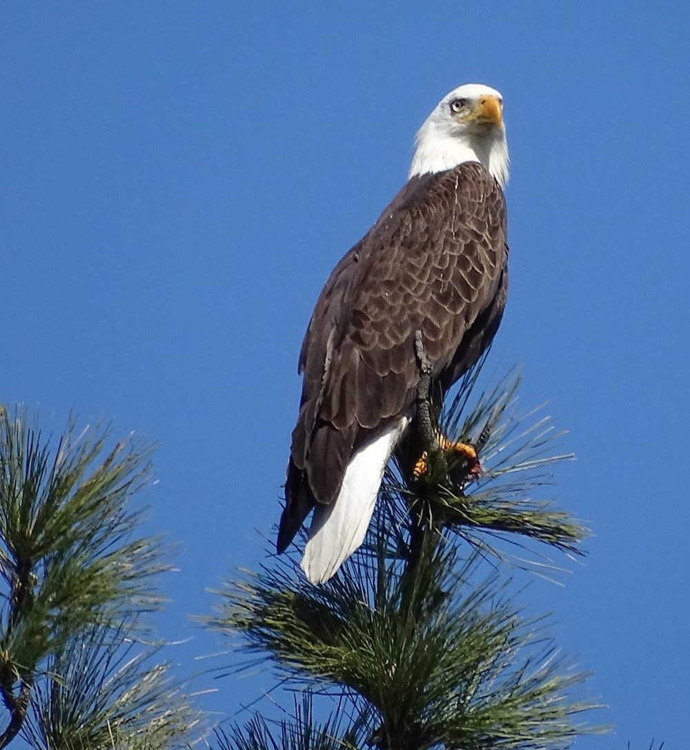 Bald Eagle (2) - Copy.JPG