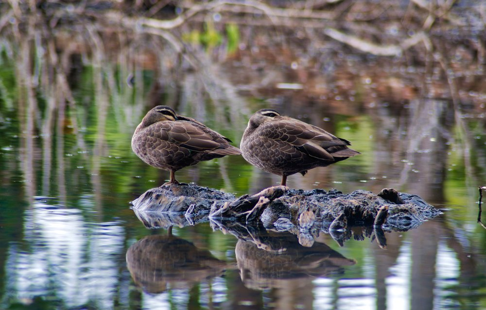 Ducks at the Lakes, Cairns.