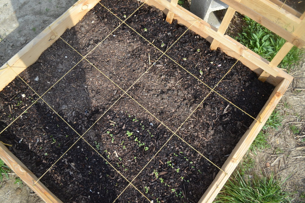 Raised bed 1 - Beets, cooking green mix, salad green mix, green beans (pole)...empty spaces are reserved for tomato plants
