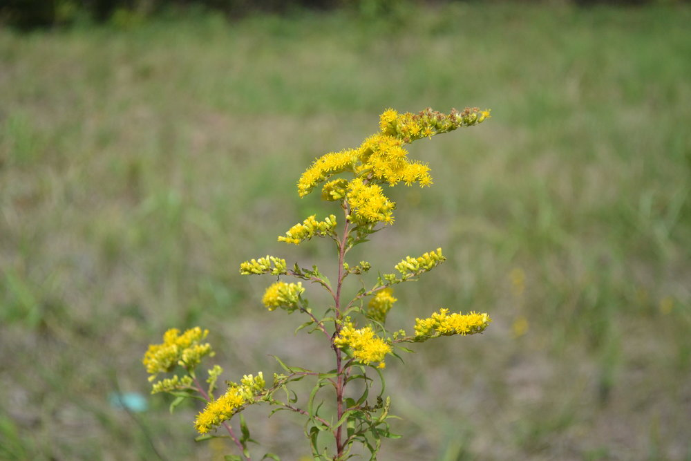 Bioregional Medicine - While we can order herbs from all over the world, we strive to grow, wildharvest, and order plants from our bioregion first, then from the rest of the US. We believe that the best medicine grows right out our back doors.Pictured here is Goldenrod, Solidago spp.
