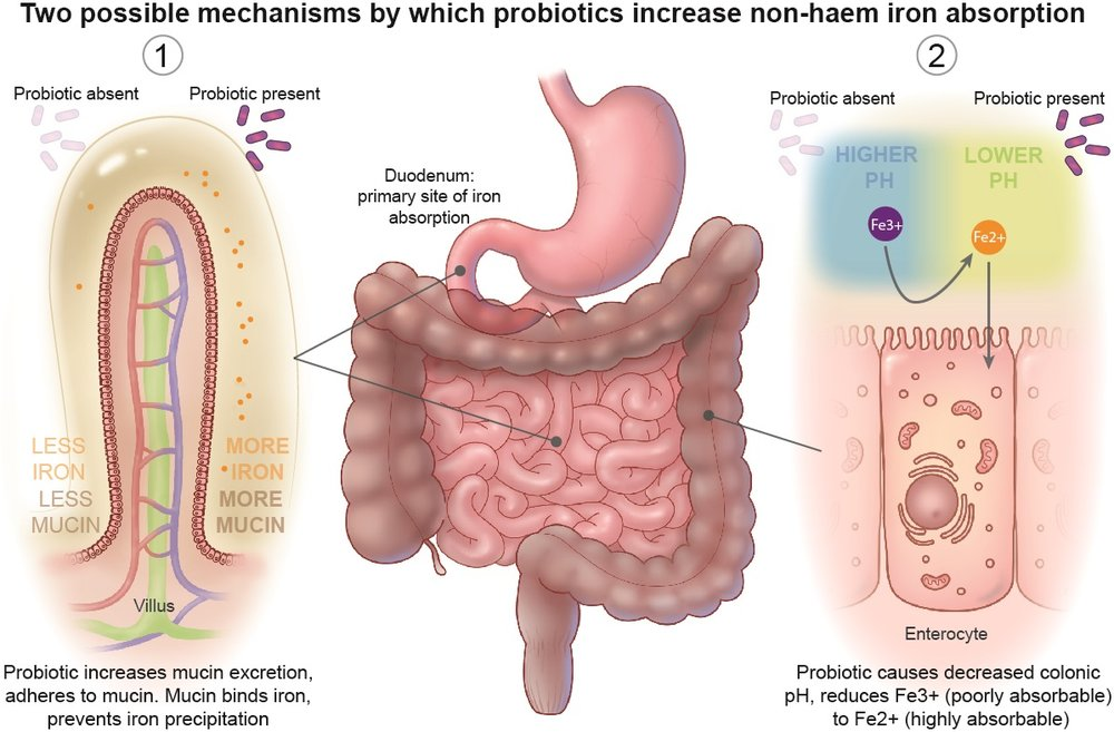 Two Possible Mechanisms by which Probiotics Increase Non-Haem Iron Absporption