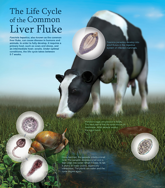 Life cycle of the common liver fluke  -