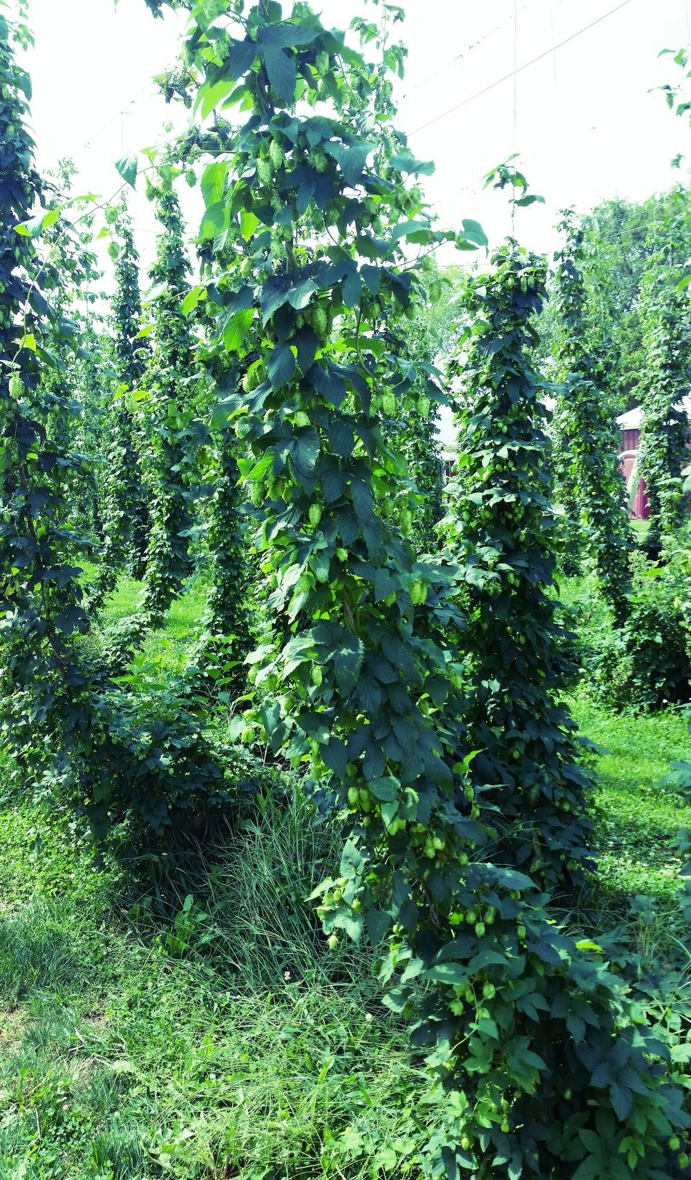 Midwest Hop Producers - from a visit this summer to their hop yard.