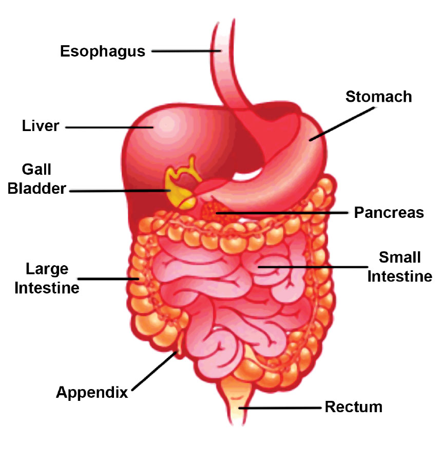 images-of-human-digestive-system