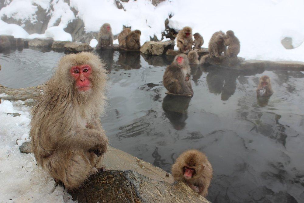 FREE Pixabay - snow-monkeys-1394883_1920.jpg