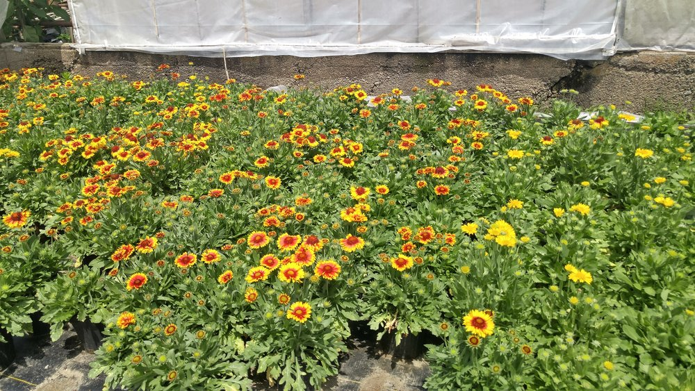 Blanket flower as far as the eye can see!