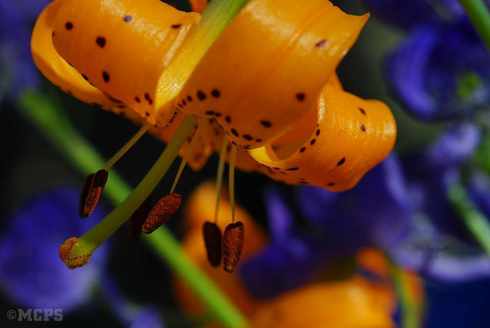 High Sierra wildflower tours by horseback near Mammoth: McGee Canyon is known for spectacular wildflower blooms like this Tiger lily