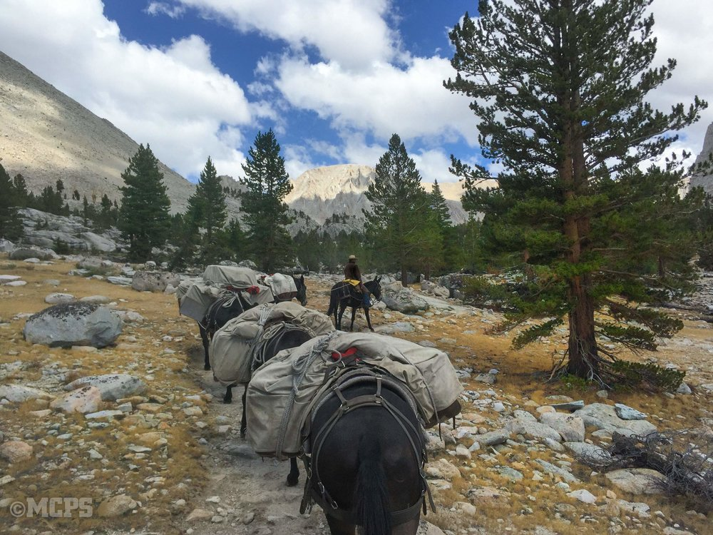 our trusty mules packing into sequoia-kings canyon parks