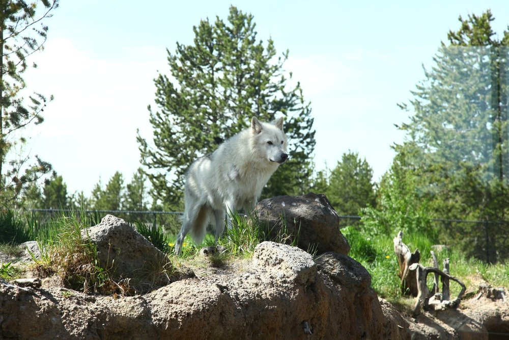 COLORADO WOLF PROJECT                          ---- click the photo to learn more----