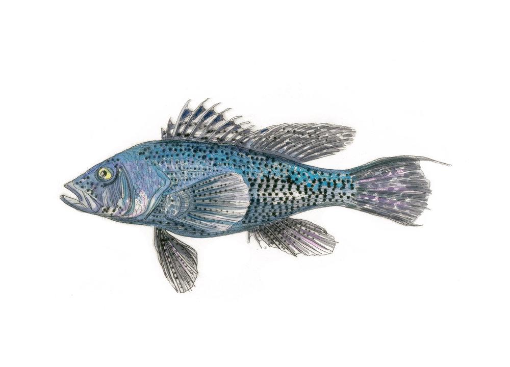 Sea Bass, 12×18 $95