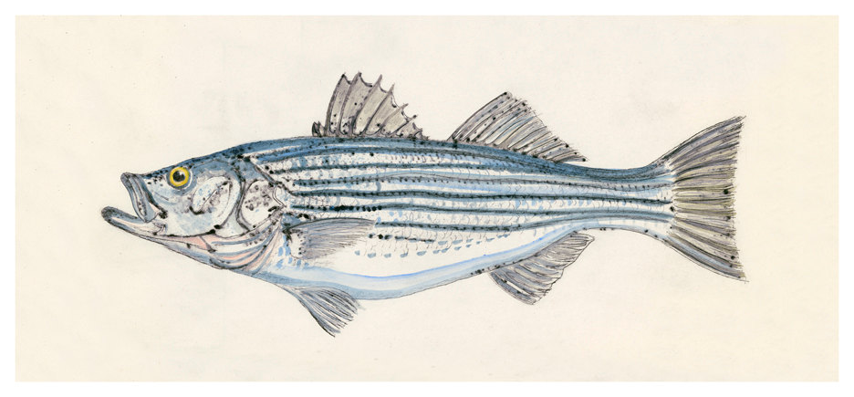 Striped Bass, 18×27 $150