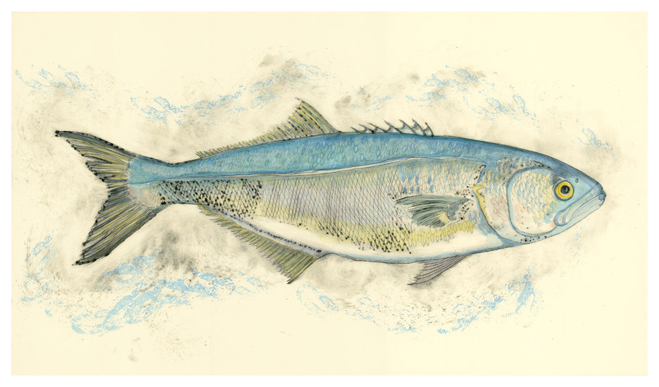 Bluefish, 14×27 $150