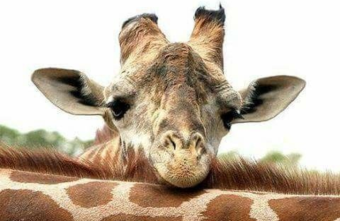 "Laughing Giraffe Organics Gives Back - Laughing Giraffe Organics announces its new initiative to ""give back"". We will contribute 5% of all website sales to different animal protection charities. Every product purchased will help preserve"