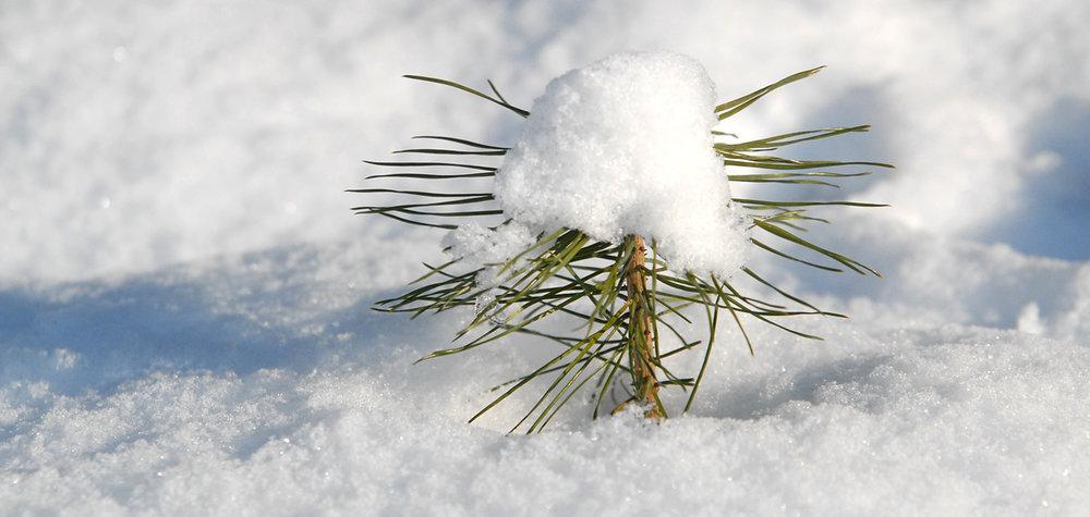 conifer-1338497-1500x712.jpg