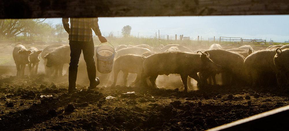 shutterstock_269068817-herd_pigs-1500x682.jpg