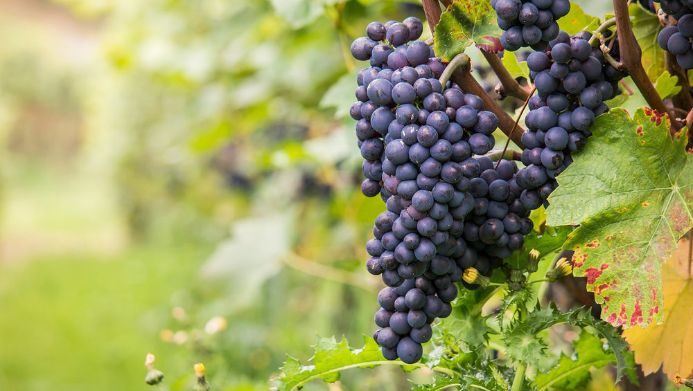 pixabay-wine-980218_1920-grapes-1500x848.jpg