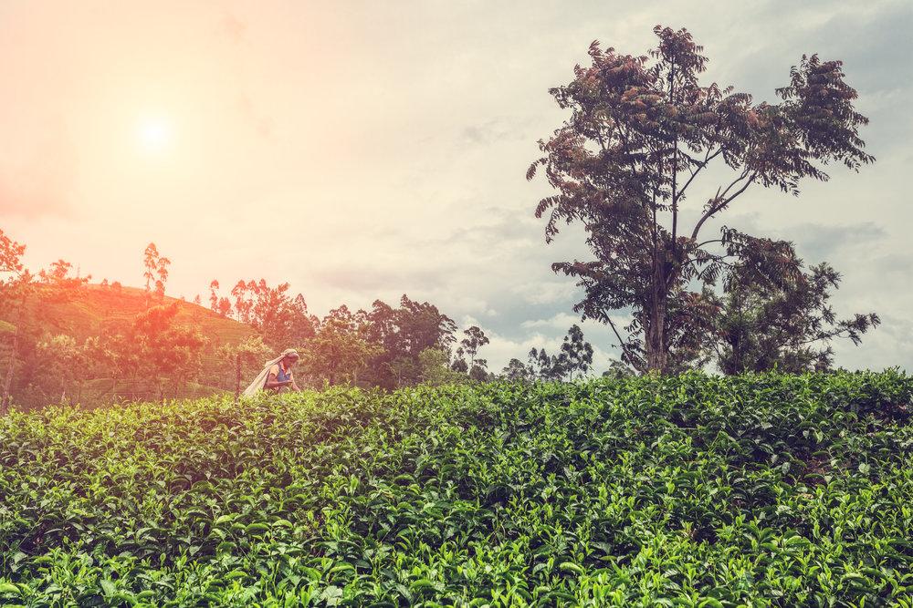 AniVillas_SriLanka_TeaPlantation