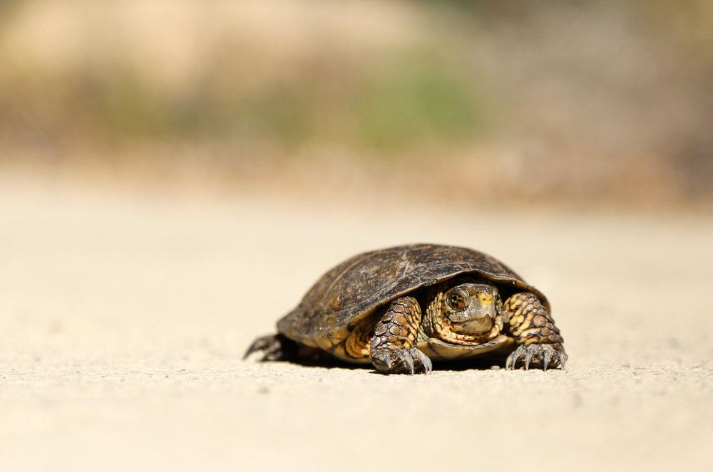 nick-abrams-turtle.jpg
