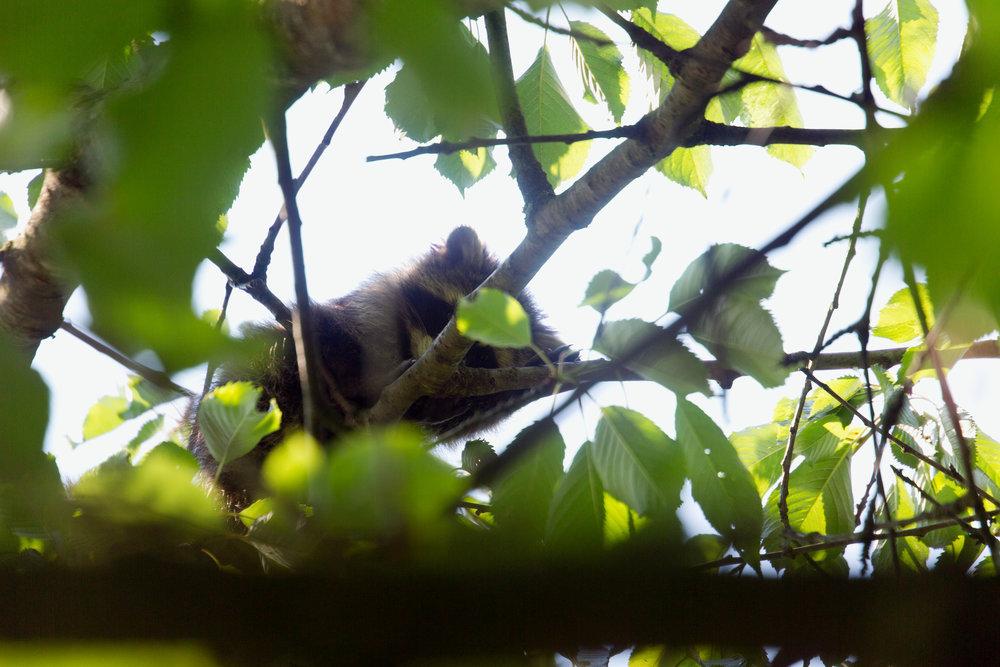 Waschbär im Kirschbaum
