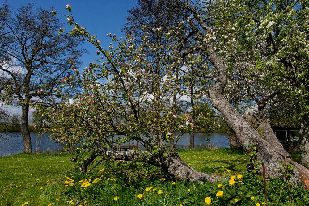 Baumblüte am Langensee