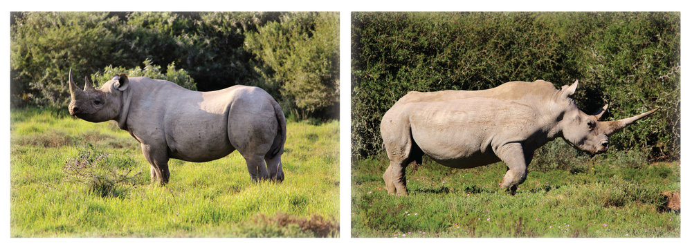 difference between white and black rhino The biggest difference between whites and blacks john craig, just not said, march 11 the gap between black and white culture, really, is mostly just the difference between black and white personality-which is just another way of saying.