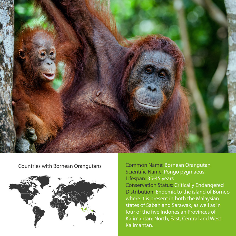 Bornean Orangutan Distribution