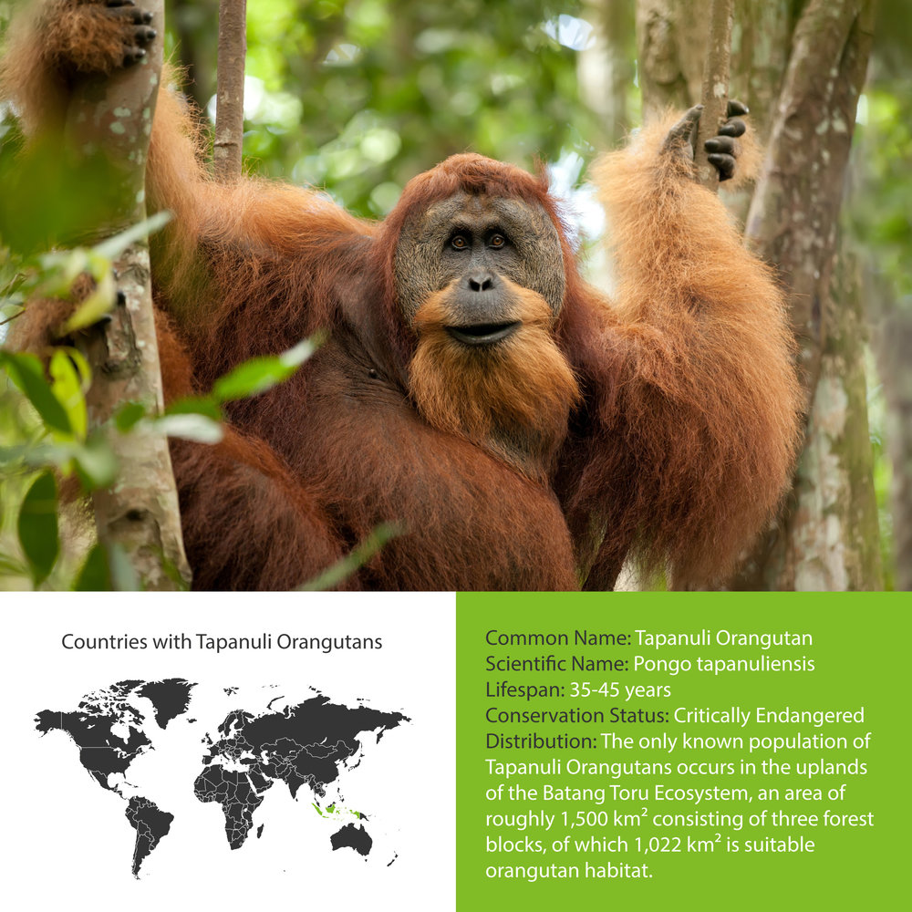 Tapanuli Orangutan Distribution