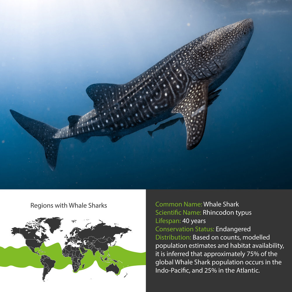 Whale Shark Distribution