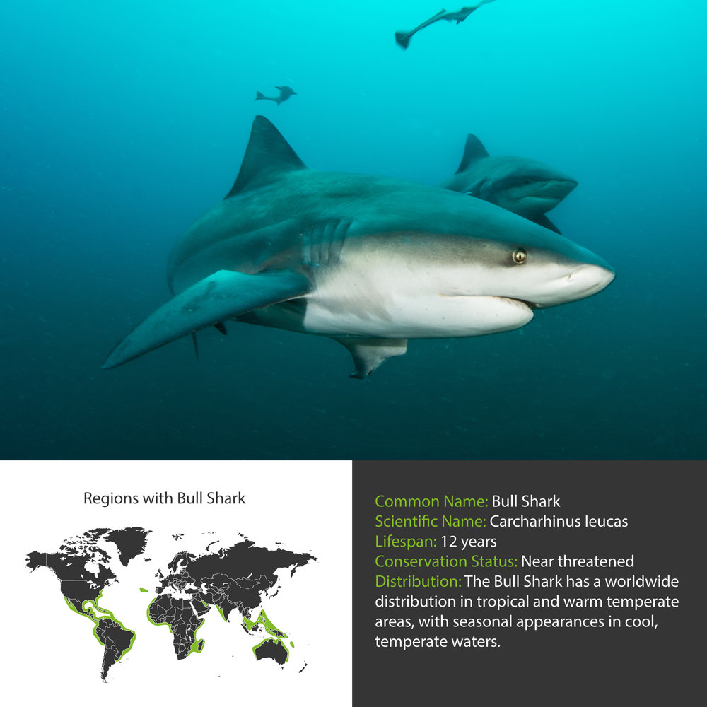 Bull Shark Distribution