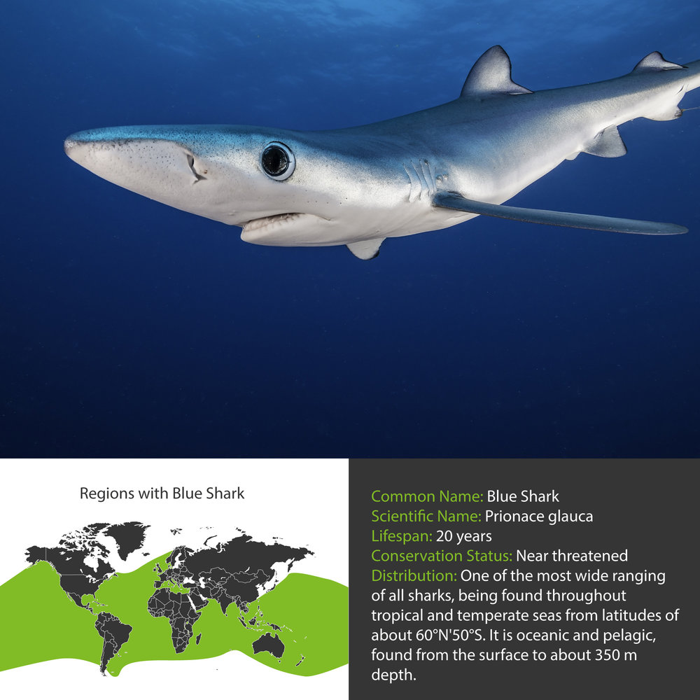 Blue Shark Distribution