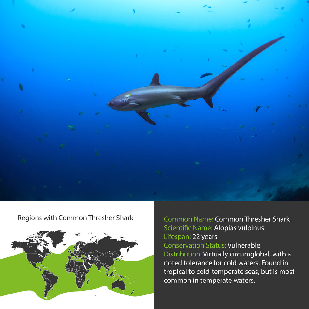 Common Thresher Shark Distribution