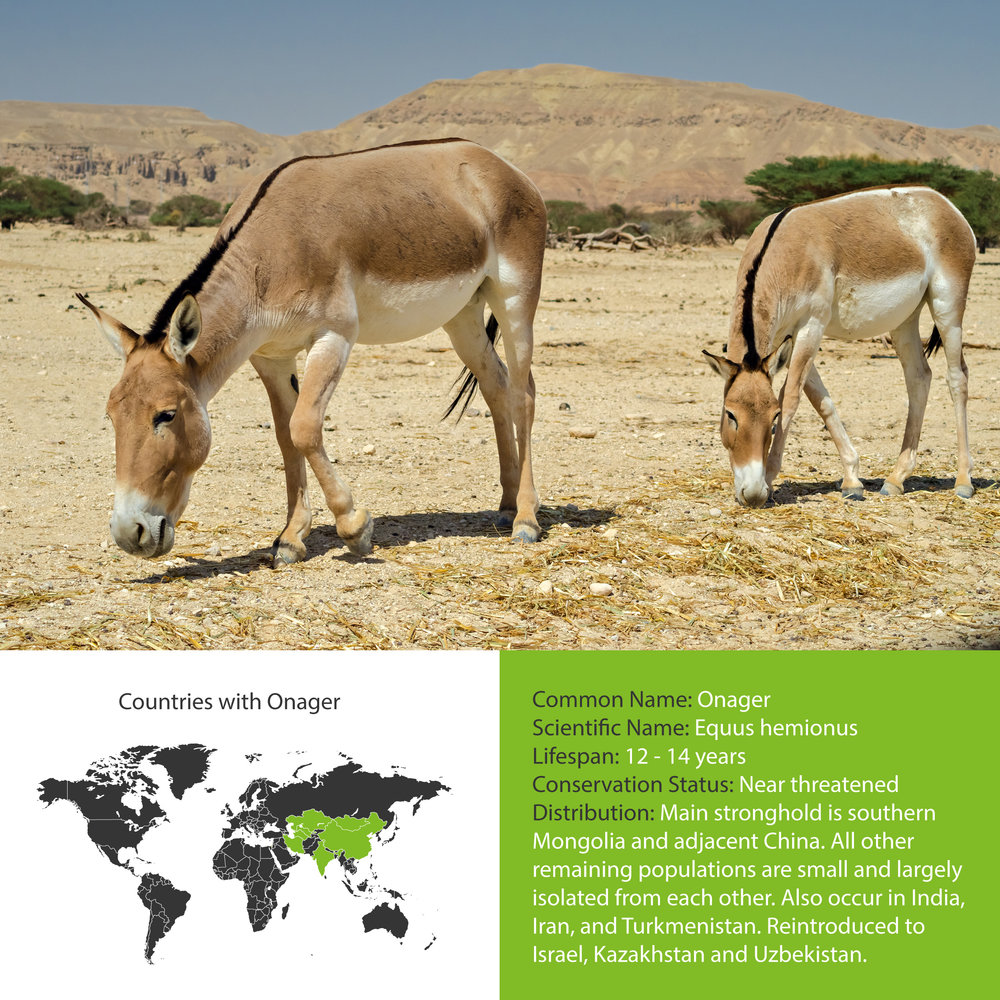 Onager Distribution